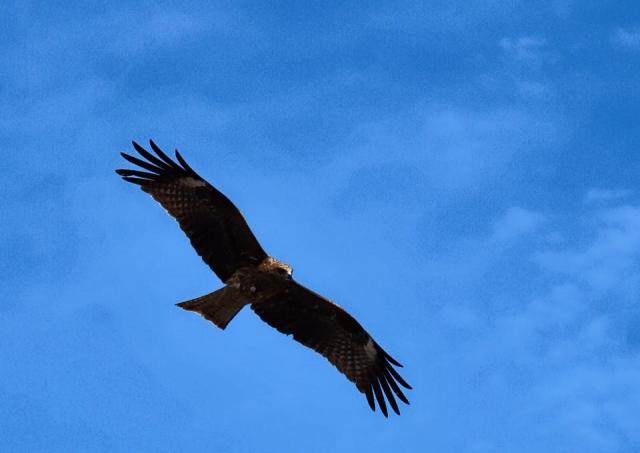 空を舞う鷹
