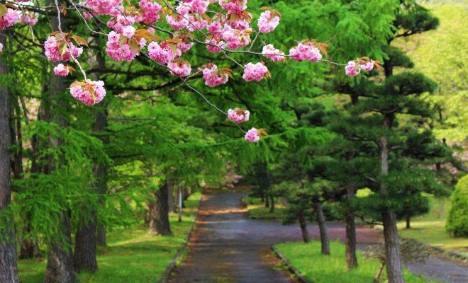 知内公園桜