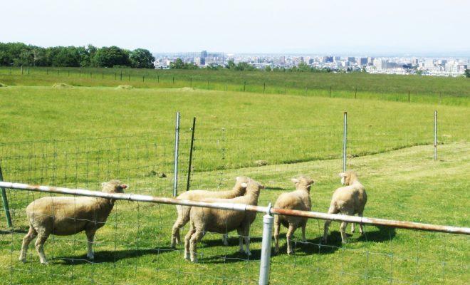 景色を楽しむ羊ヶ丘展望台の羊たち