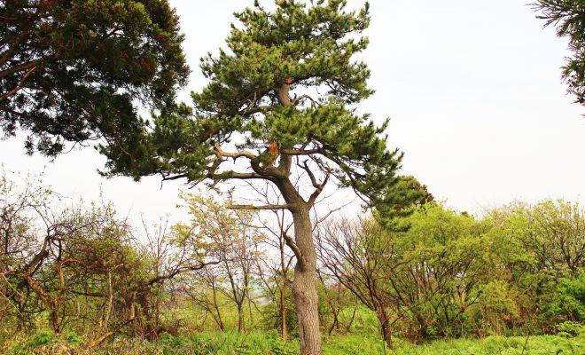 榎本武揚が植えたとされる「武揚松」は今なお知内町で生き続ける