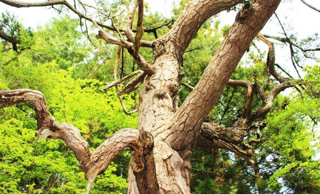 知内公園荒神社の黒松
