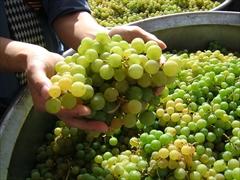 おたるナイアガラの原料葡萄
